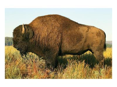 The Noble Bison--Art Print