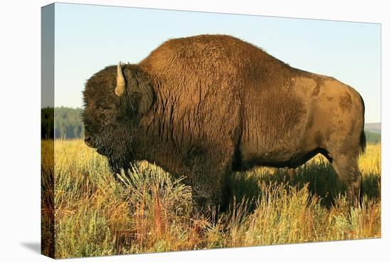 The Noble Bison--Stretched Canvas Print