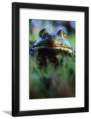 The North American Bullfrog, Rana Catesbeiana-David Nunuk-Framed Photographic Print