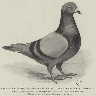 The North Middlesex Flying Club Show, Mr C Medcalf's Blue Hen Diomand--Giclee Print