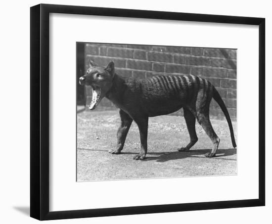 The Now Extinct Tasmanian Tiger, or Thylacine, 1914-Frederick William Bond-Framed Photographic Print