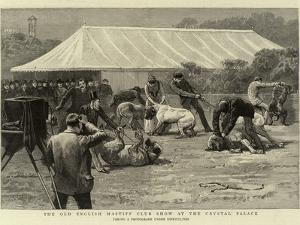 The Old English Mastiff Club Show at the Crystal Palace