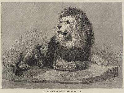 The Old Lion of the Zoological Society's Collection--Giclee Print
