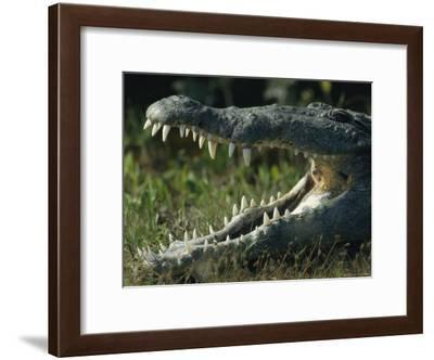 The Open Mouth of an American Crocodile-Klaus Nigge-Framed Photographic Print