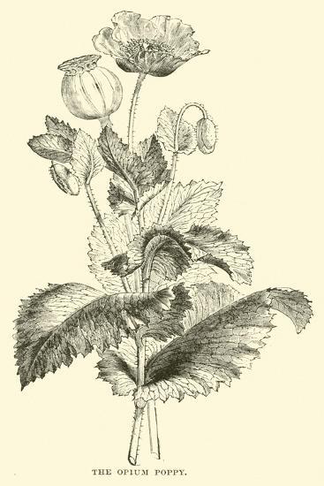 The Opium Poppy--Giclee Print