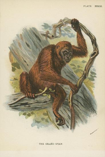 The Orang-Utan--Giclee Print