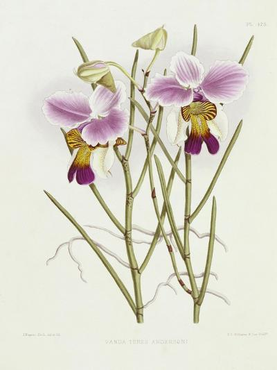 The Orchid Album Plate 475--Giclee Print