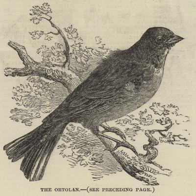 The Ortolan--Giclee Print