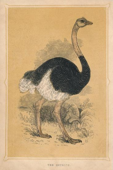 'The Ostrich', (Struthio camelus), c1850, (1856)-Unknown-Giclee Print