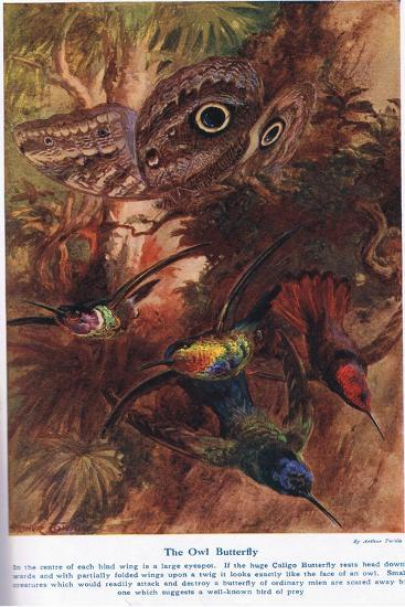 The Owl Butterfly, Illustration from 'Wonders of Land and Sea', Published by Cassell, London, 1914-Arthur Twidle-Giclee Print