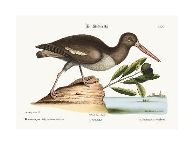 The Oyster Catcher, 1749-73-Mark Catesby-Giclee Print