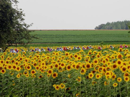 The Pack Rides Past a Sunflower Field During the Sixth Stage of the Tour De France--Photographic Print