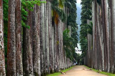 The Palm Alley In The Botanical Garden In Rio De Janeiro-xura-Photographic Print