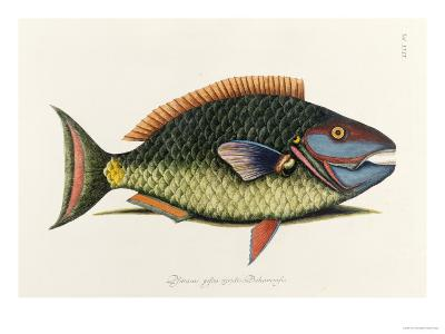 The Parrot Fish-Mark Catesby-Giclee Print