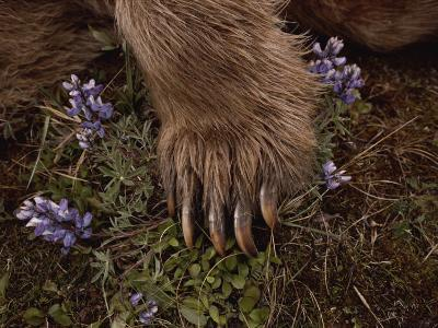 The Paw of a Tranquilized Grizzly Bear and Purple Wildflowers-Annie Griffiths-Photographic Print