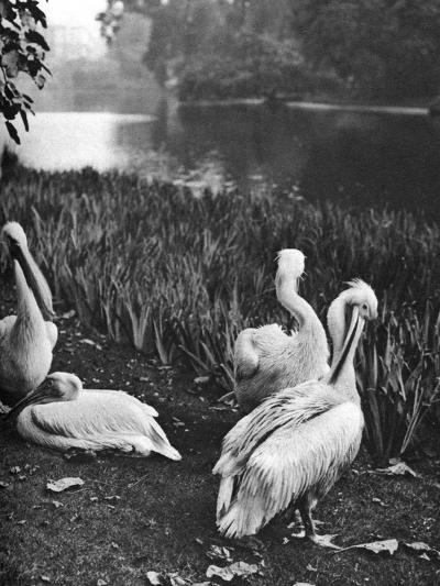The Pelicans of St James's Park, London, 1926-1927-McLeish-Giclee Print