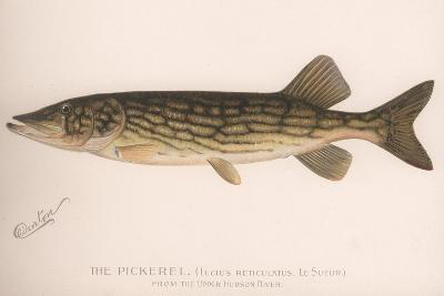 The Pickerel (Lucius Reticulatus. Le Sueu), C.1920S--Giclee Print