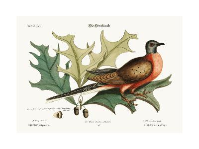 The Pigeon of Passage, 1749-73-Mark Catesby-Giclee Print
