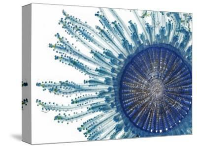 The Pigment of a Blue Button Jellyfish Blocks Ultraviolet Rays-David Liittschwager-Stretched Canvas Print