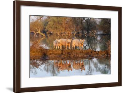The Pigs of Maliuc, Animals, Danube Delta, Ramsar, Romania-Martin Zwick-Framed Photographic Print
