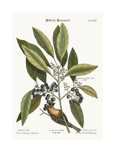 The Pine-Creeper, 1749-73-Mark Catesby-Giclee Print