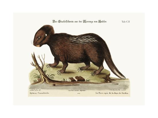 The Porcupine from Hudson's Bay, 1749-73-George Edwards-Giclee Print