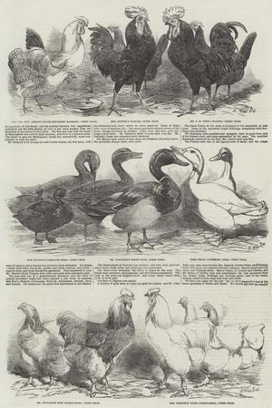 The Poultry Exhibition at Birmingham-Harrison William Weir-Giclee Print