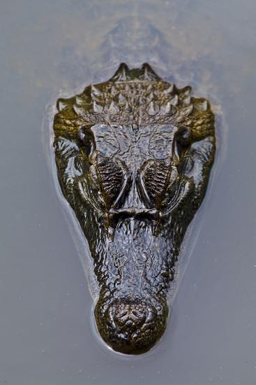 The Prehistoric Scaled Head of a Spectacled Caiman Floating on the Surface of a Wetland Pool-Jason Edwards-Photographic Print