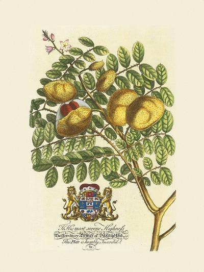 The Prince Saxegotha Botanical-Georg Ehret-Premium Giclee Print