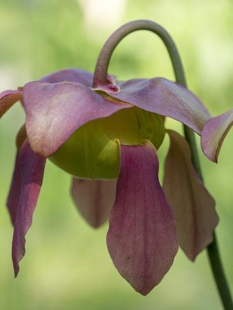 https://imgc.artprintimages.com/img/print/the-purple-flowers-of-the-pitcher-plant-sarracenia-a-carnivorous-plant_u-l-q1gtm950.jpg?p=0