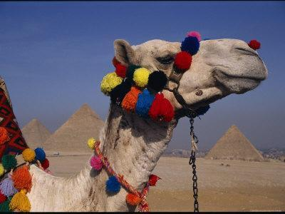 https://imgc.artprintimages.com/img/print/the-pyramids-of-giza-are-framed-by-the-brightly-tassled-head-of-a-camel_u-l-p4t5u20.jpg?p=0