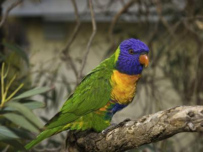 The Rainbow Lorikeet (Trichoglossus Haematodus)-David Fleetham-Photographic Print