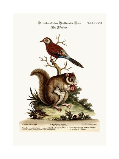 The Red and Blue Brasilian Finch. the Flying Squirrel, 1749-73-George Edwards-Giclee Print