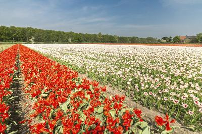 The Red and White Tulips Colour the Landscape in Spring, Netherlands-Roberto Moiola-Photographic Print