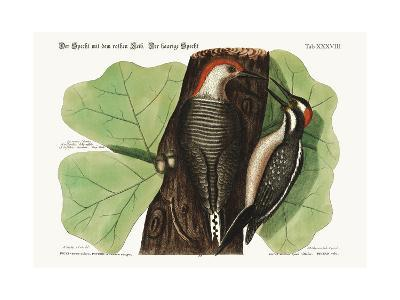 The Red-Bellied Woodpecker. the Hairy Woodpecker., 1749-73-Mark Catesby-Giclee Print
