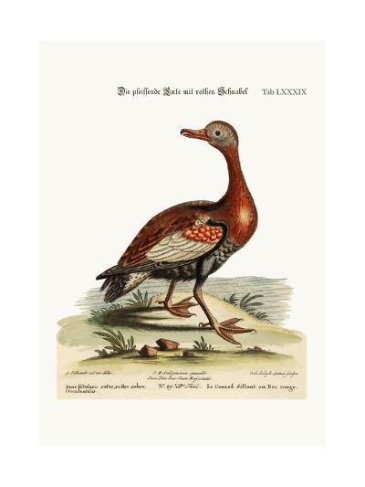 The Red-Billed Whistling Duck, 1749-73-George Edwards-Giclee Print