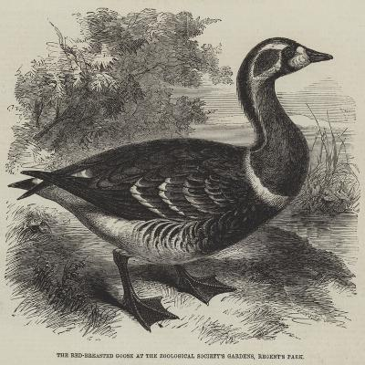 The Red-Breasted Goose at the Zoological Society's Gardens, Regent's Park--Giclee Print