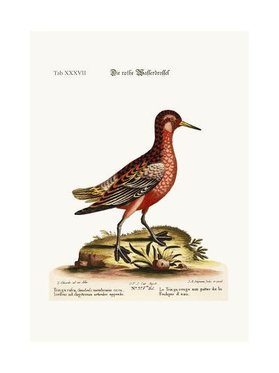 The Red Coot-Footed Tringa, 1749-73-George Edwards-Giclee Print