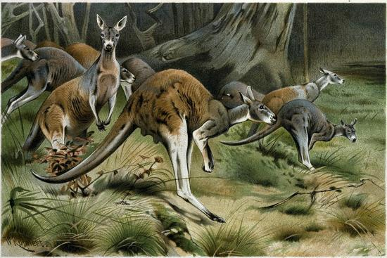 The Red Kangaroo--Giclee Print