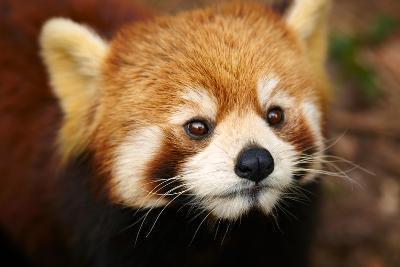 The Red Panda, Firefox-silver-john-Photographic Print