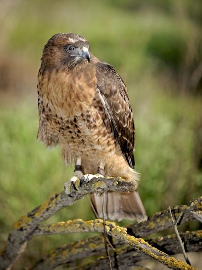 The Red-Tailed Hawk (Buteo Jamaicensis), Captive-Michael Kern-Photographic Print