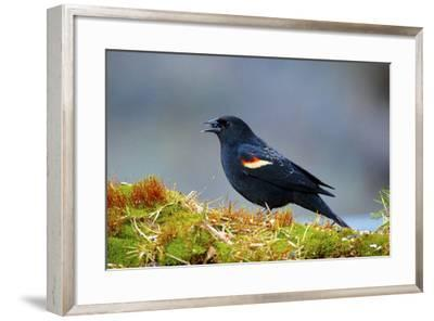 The Red-Winged Blackbird-Richard Wright-Framed Photographic Print