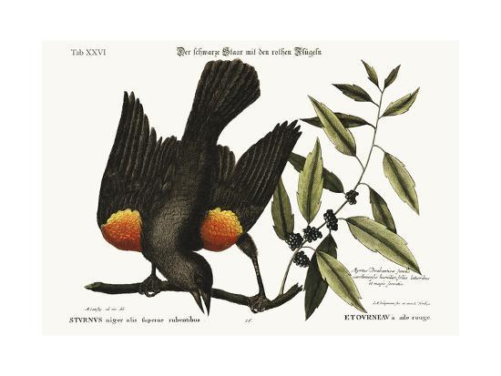 The Red-Winged Starling, 1749-73-Mark Catesby-Giclee Print