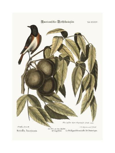 The Redstart, 1749-73-Mark Catesby-Giclee Print