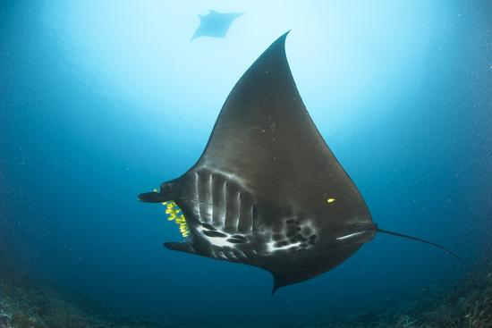The Reef Manta Ray with Yellow Pilot Fish in Front of its Mouth--Photographic Print