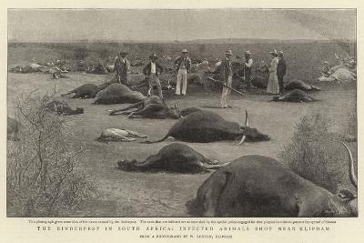 The Rinderpest in South Africa, Infected Animals Shot Near Klipdam--Giclee Print