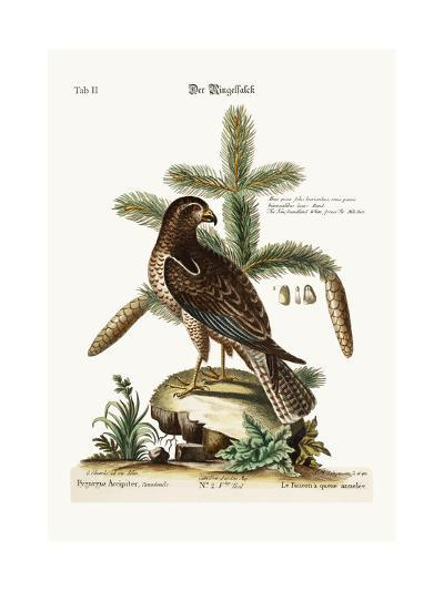 The Ring-Tailed Hawk, 1749-73-George Edwards-Giclee Print
