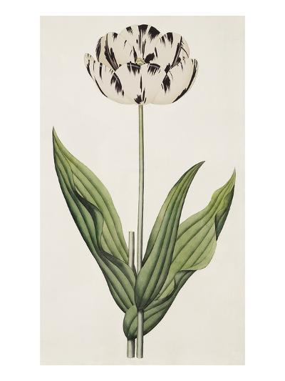 The Rodney, A Bybloemen Tulip-James Sowerby-Giclee Print