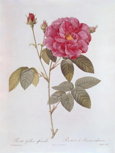The Rose Rosa Gallica Officinalis-Pierre Joseph Redout?-Giclee Print