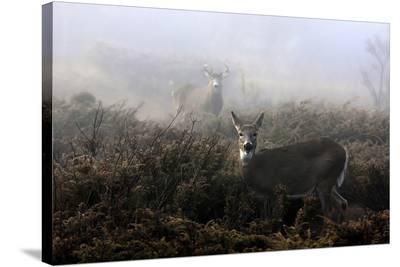 The Rut In On White-Tailed Deer-Jim Cumming-Stretched Canvas Print